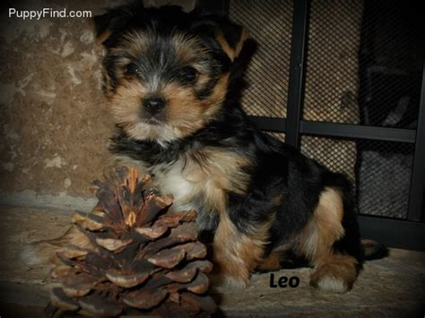 country yorkies pictures of size yorkie breeds picture