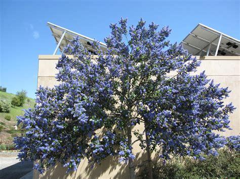 drought tolerant shrubs