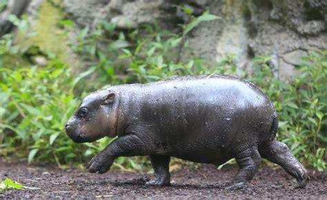 baby pygmy hippo endangered baby pygmy hippo takes swim in
