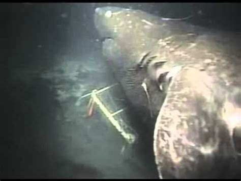 megalodon shark caught on camera by japan scientist youtube