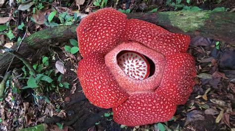 Bunga Yangterakhir Mekar foto inilah keindahan bunga rafflesia yang sedang mekar di alam mongabay co id