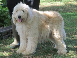 goldendoodle puppy behavior problems goldendoodle rescue dogs for adoption in ventura county
