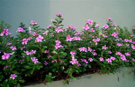 Plant Grow Ls by Pictures Of Vinca Flowers Beautiful Flowers