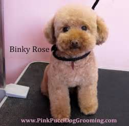 different styles of hair cuts for poodles toypoodle binky rose toy poodle japanese style dog