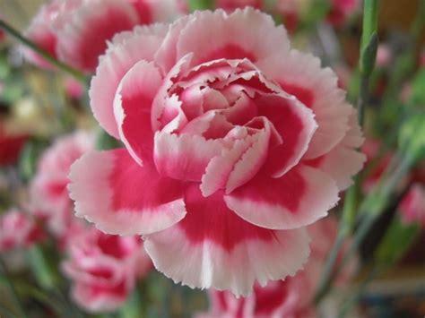 fiore garofano garofano piante da interno pianta garofano