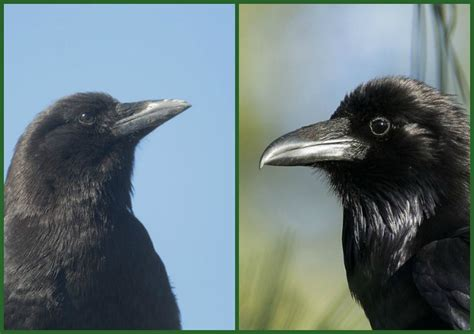 birdnote q a crow or raven a way to garden