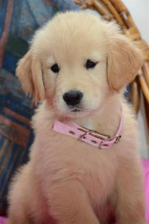 golden retriever collars pin by sally hoch on our pets