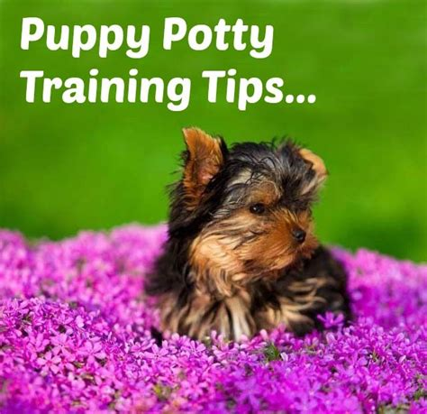 yorkie secrets 17 best images about yorkies on puppys and yorkie