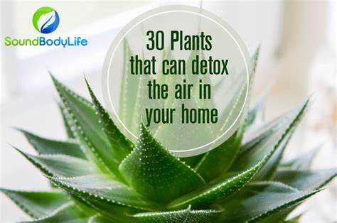 Detox Plants by 30 Plants That Can Detox The Air In Your Home Soundbodylife