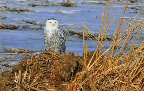 snowy owl facts for kids yourkidsplanet com