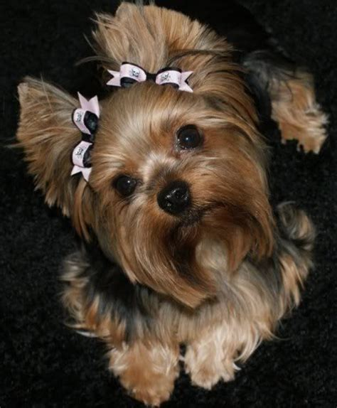 that looks like a yorkie terrier yorkie and this baby looks just like winnie pinteres