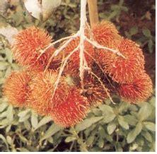 Bibit Biji Rambutan bibit buah rambutan nephelium lappaceum cv