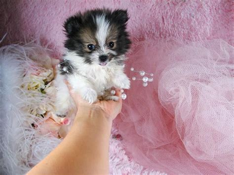 teacup pomeranian puppies for sale in indiana 17 best ideas about pomeranian puppies for sale on teacup pomeranian puppy