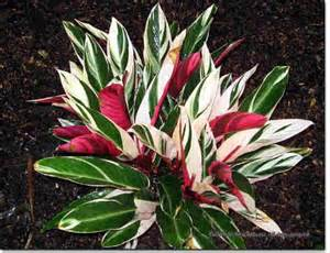 colorful houseplants stromanthe houseplants colorful leaves more