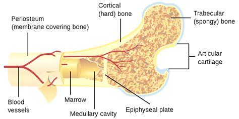 bone cross section file bone cross section svg wikipedia