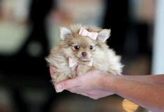 how do teacup puppies live how do pomeranians live teacup pomeranian pies and puppys