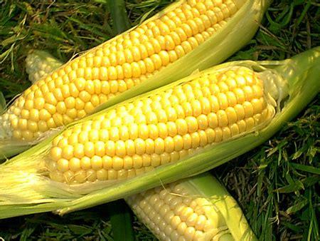 Pakan Ternak Tongkol Jagung kandungan gizi jagung manis sweet corn