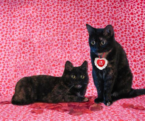 happy valentines day cat happy s day