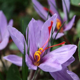 Attractive Saffron Crocus Flowers Pictures ? WeNeedFun