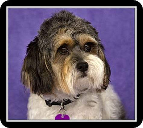 shih tzu rescue san diego annabelle adopted san diego ca shih tzu poodle or tea cup mix