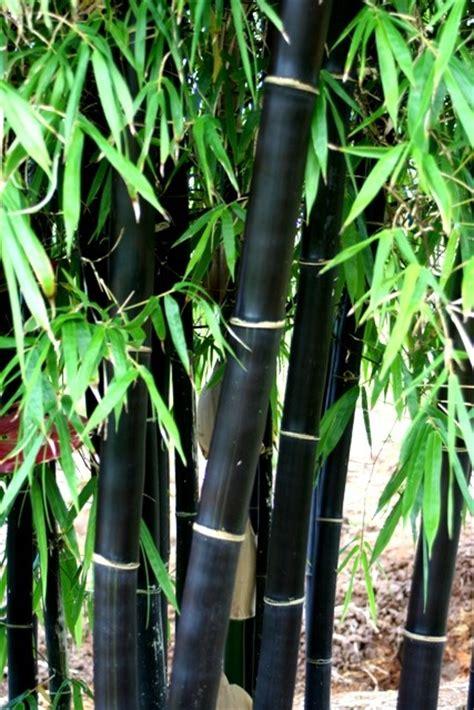 bamboo adelaide jungle  willunga