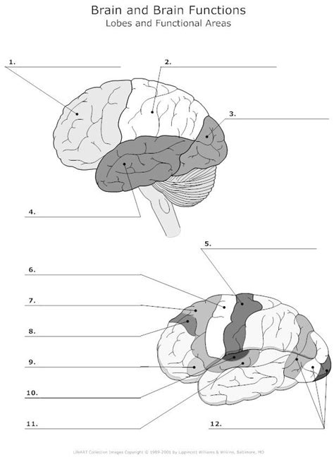 anatomy of speech coloring book lobes and functional areas of the brain unlabeled