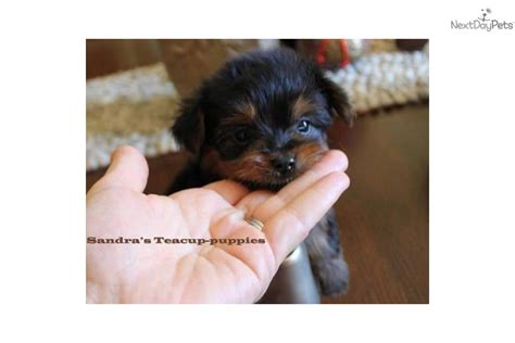 pictures of teacup dogs puppies for sale from s teacup puppies member since july 2011