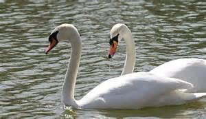 file isu mute swans jpg wikimedia commons