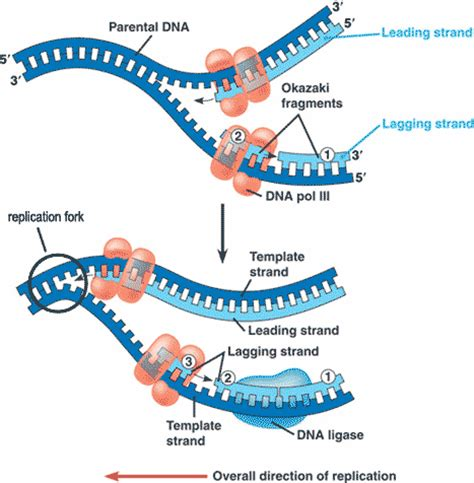 what acts as the template in dna replication quia ap chapter 16 molecular basis of inheritance basic