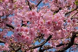 Japanese Cherry Blossom Tree Free Photo Sakura Cherry Blossom Tokyo Free Image On