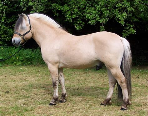 fjord paard welcome to the fjord national studbook of great britain