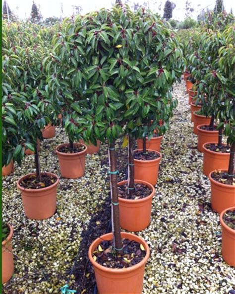 portuguese laurel topiary cheap portuguese laurel standards prunus lusitanica for