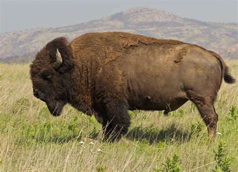 file bison bison wichita mountain oklahoma jpg wikimedia