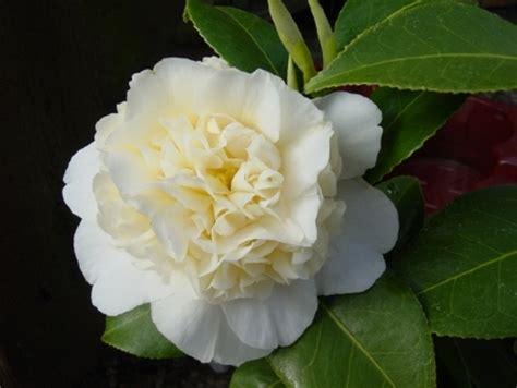 potatura camelia in vaso camelia camellia japonica piante da giardino