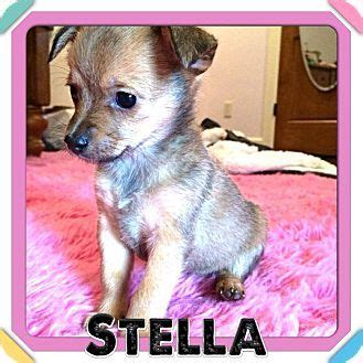 teacup chihuahua shih tzu mix houston tx chihuahua shih tzu mix meet stella a puppy for adoption stuff