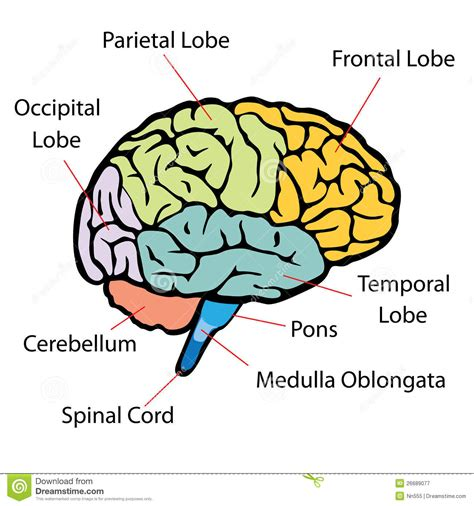 which section of the brain is concerned with reasoning brain sections stock vector illustration of intellect