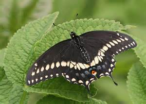 Maryland State Flower - oklahoma state butterfly black swallowtail butterfly