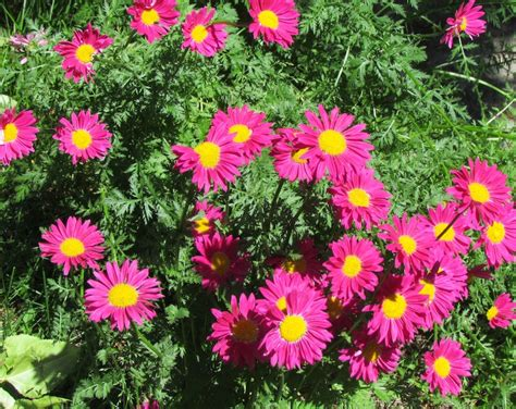 perennials are the backbone of the flower garden providing color with their spectacular blossoms