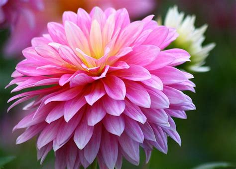 november flower chrysanthemum flowers hd wallpaper 2015