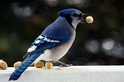 animal you blue jay