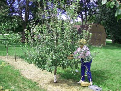 apple tree in my backyard growing apples pears and asian pears backyard gardening