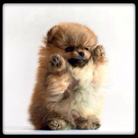 find a pomeranian puppy 25 best ideas about pomeranian pups on pomeranian puppy teacup