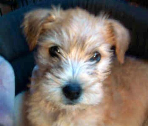 cute cuts for wheaten terriers soft wheaten terrier puppy so cute too damn cute