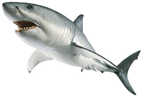 baby shark png animals png free images