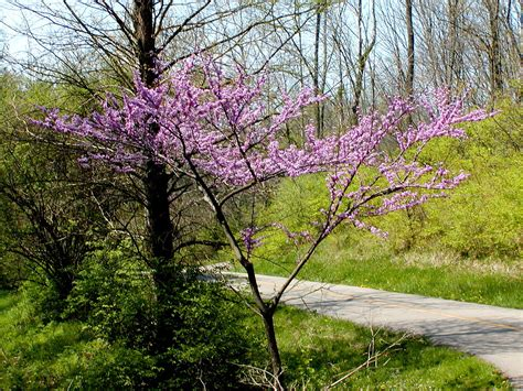 redbud tree cercis canadensis wikipedia