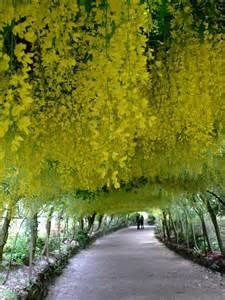 Bodnant Garden Wales Golden Tree