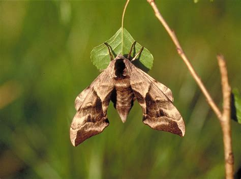 the of the moths books eyed hawk moth smerinthus ocellata ukmoths