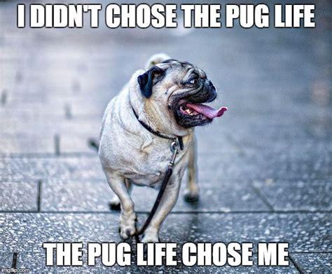 pug memes 8 pug memes what every deserves