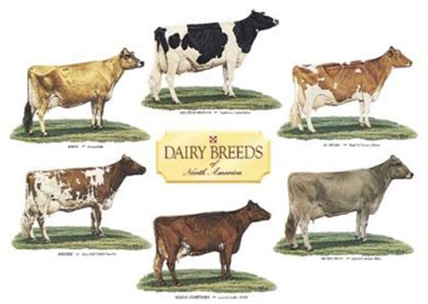 cattle names dairy cattle and america on
