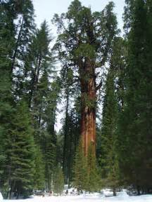 General sherman the biggest tree in the world